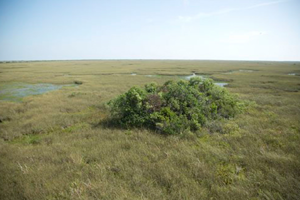 DEADLY FUNGUS SPREADS IN EVERGLADES KILLING TREES
