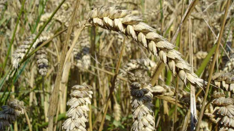 KSU-researchers-develop-heat-tolerant-wheat
