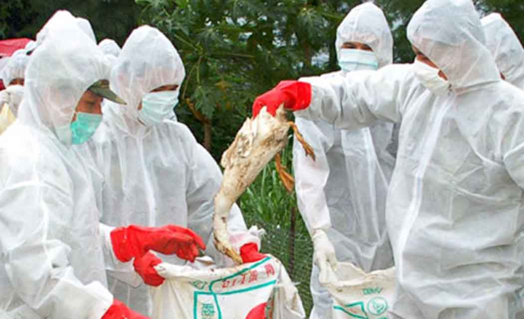 Bird-flu-takes-biggest-toll-yet-as-virus-hits-chicken-farms