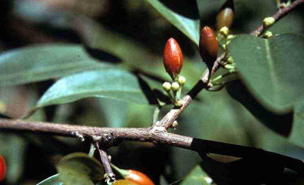 coca-seeds