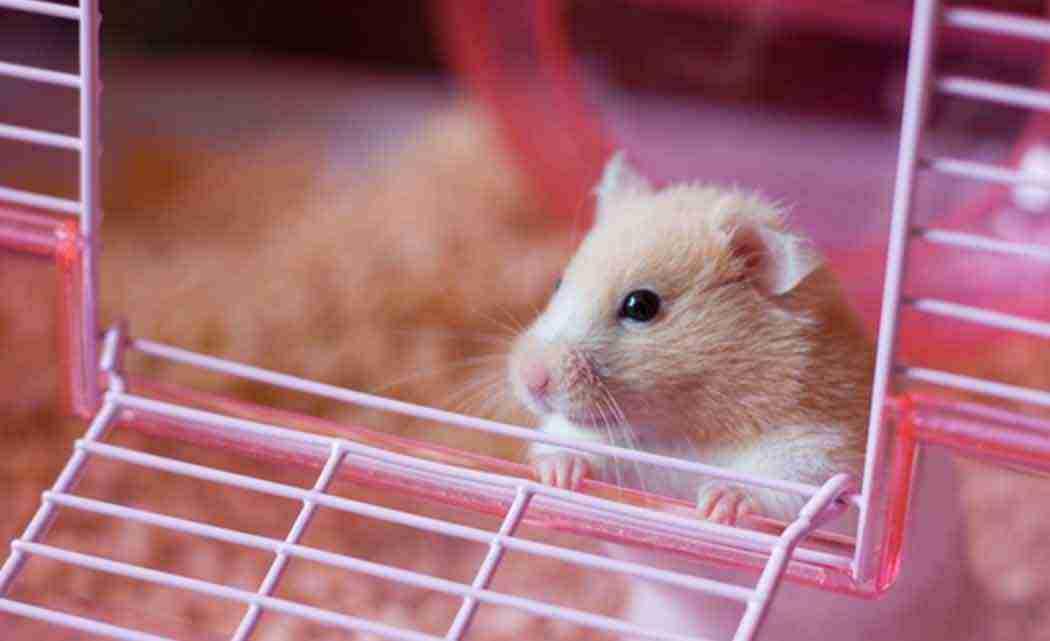 hamsterexperiments