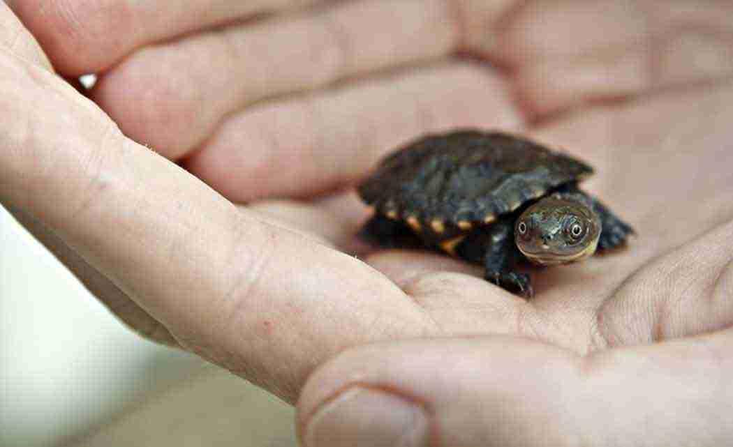 terrapins-turtle