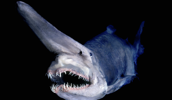 Deep sea sharks
