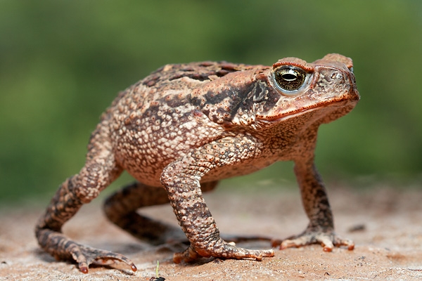 Toxic toad