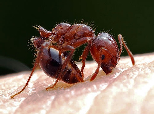 red__fire_ant