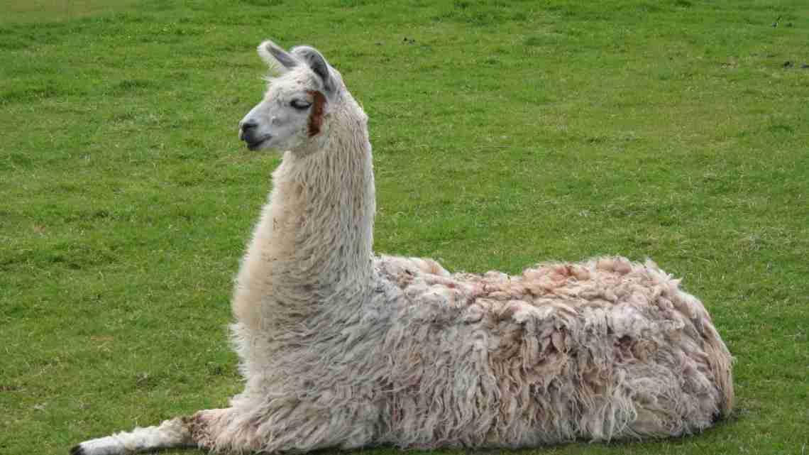 Llama_