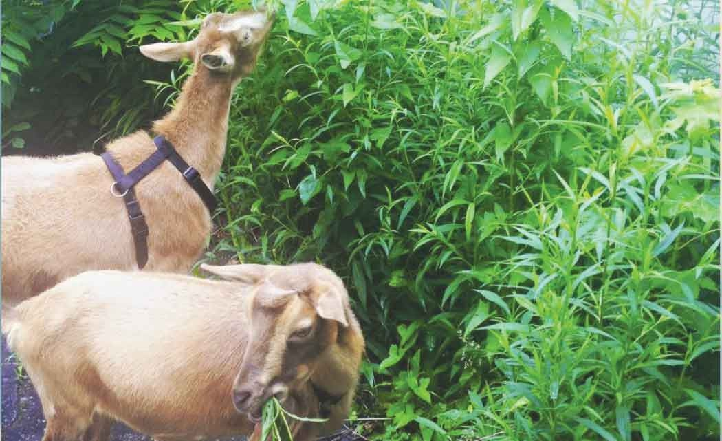 Shaker-Heights-church-uses-goats-as-eco-friendly-lawn-mowers