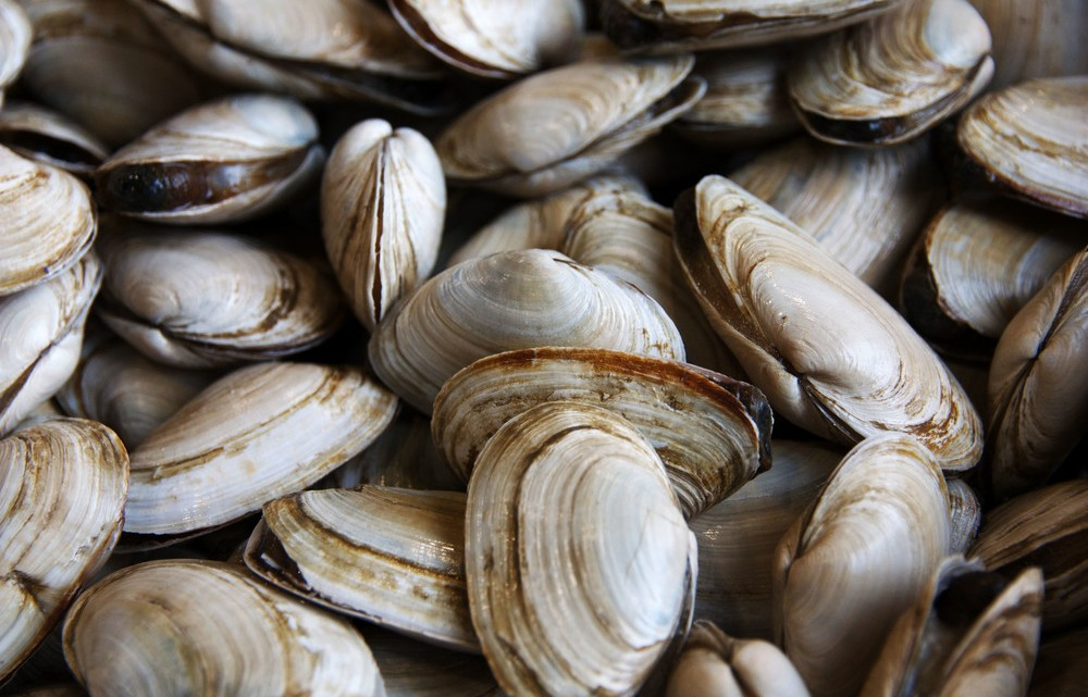 Shellfish harvest