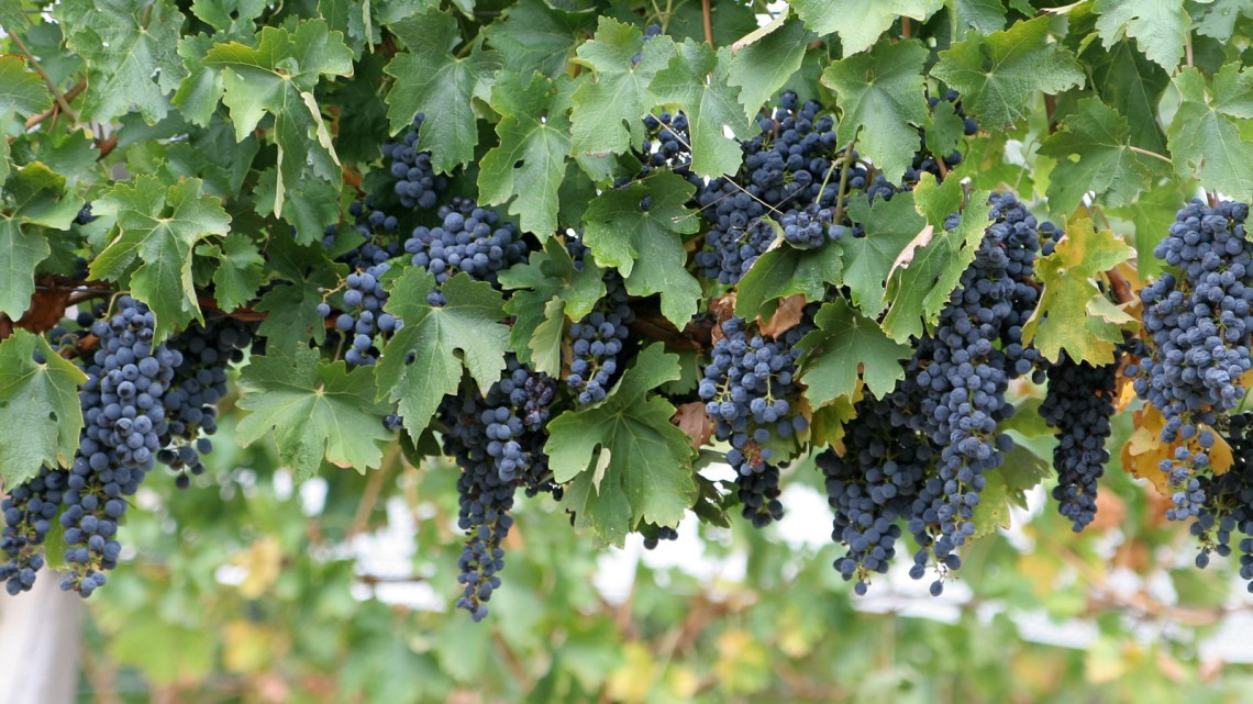 wine_grapes