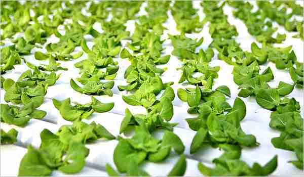 hydroponic veggies