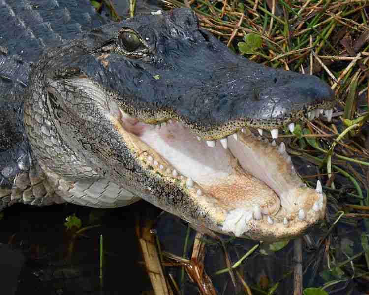 american_alligator_-_florida_everglades