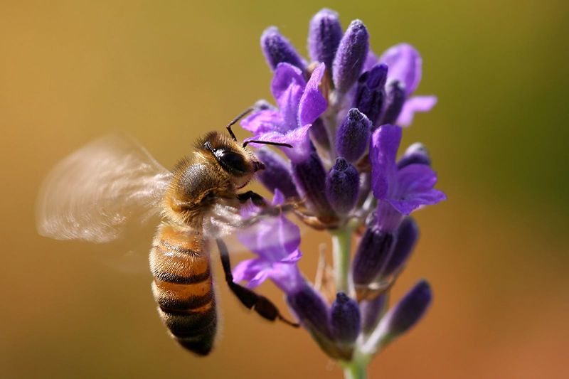 Flying_bee_on_lavender_(2599213165)