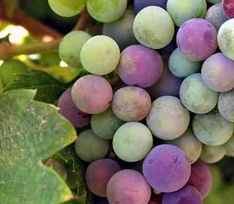480px-Wine_grapes_baja