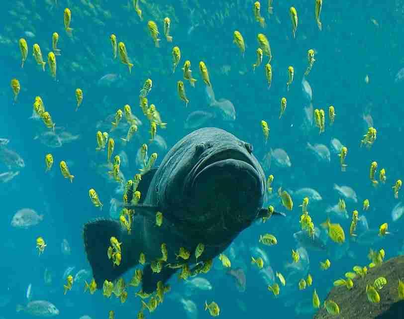 Georgia_Aquarium_-_Giant_Grouper