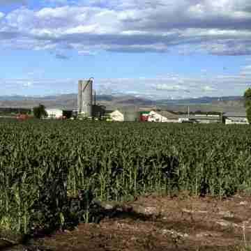 Corn_field_in_Colorado