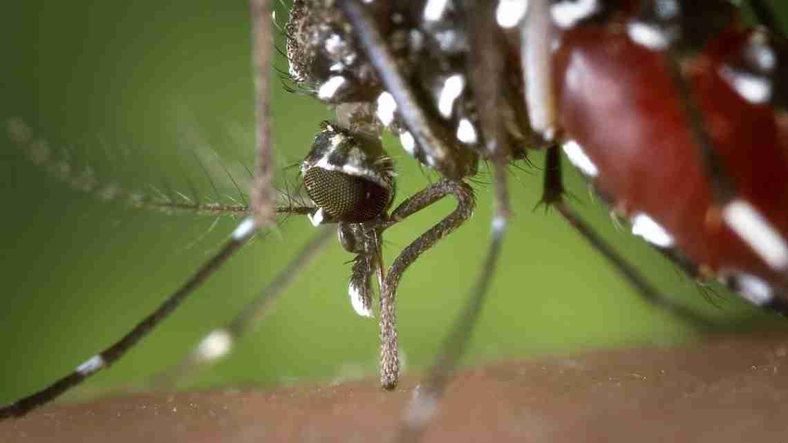 1200px-Aedes_albopictus_2
