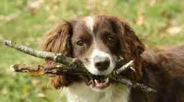 Pet_dog_fetching_sticks_in_Wales-3April2010