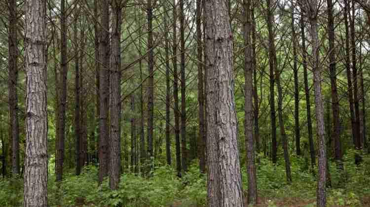 Pine_trees_in_rural_Alabama_LCCN2010640176.tif