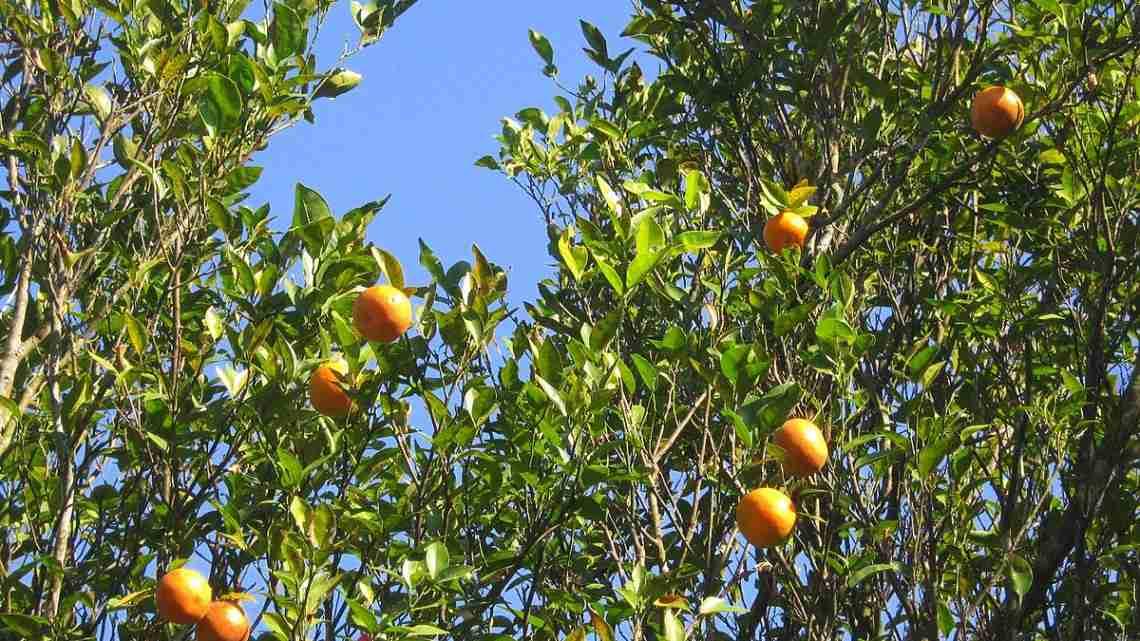Orange_trees