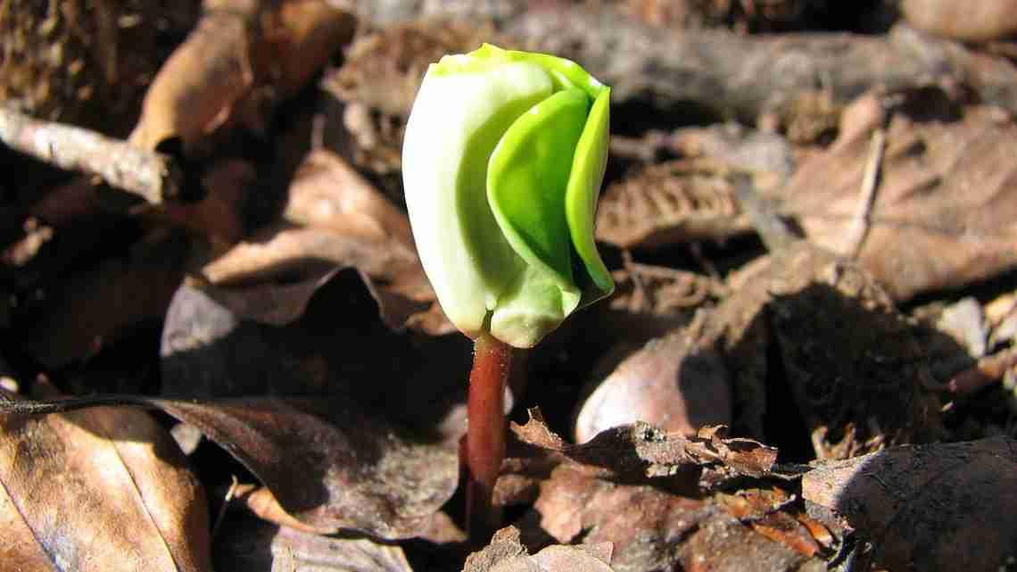 Beech_seedling_1