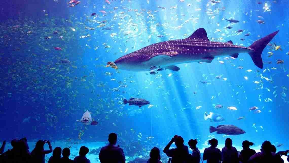 1200px-Male_whale_shark_at_Georgia_Aquarium